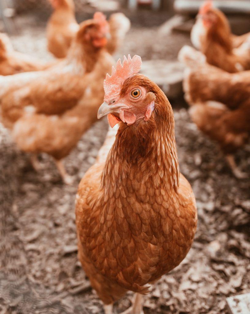 Ausbeutung in der Eier-Produktion